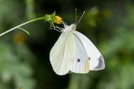 4,002 White Butterfly Stock Photos, Pictures & Royalty-Free Images - iStock